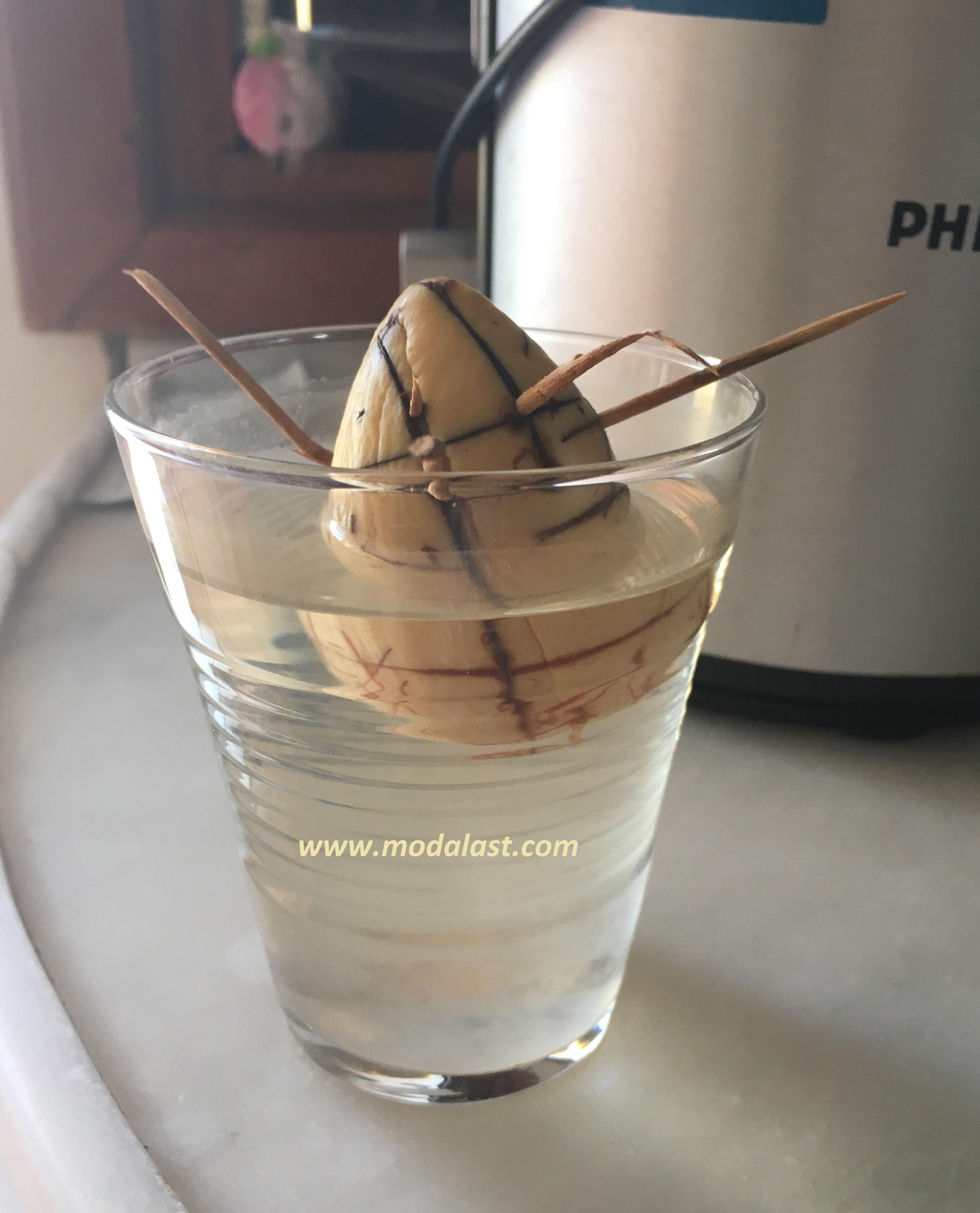 avokado çekirdeğinin filizlenmesi